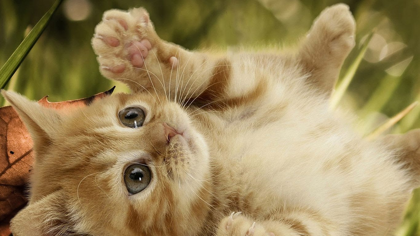 Funny Cat Backgrounds Sf Wallpaper
