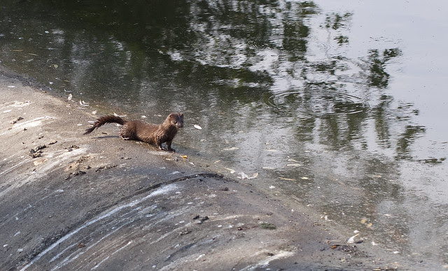 mink trouble
