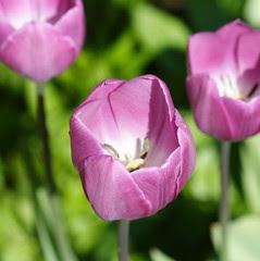 My Front Garden Tulips