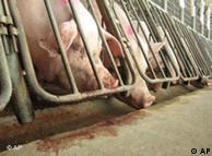 A soja é usada na alimentação de animais para abate