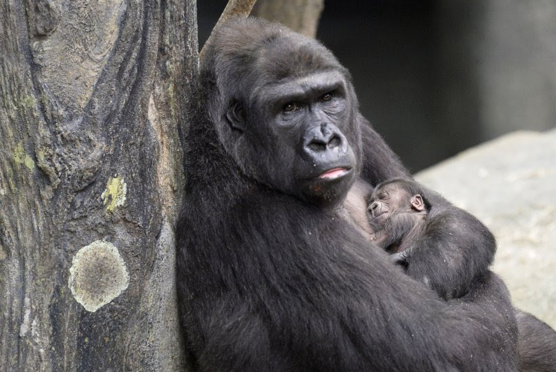 Image result for first gorilla born in captivity images
