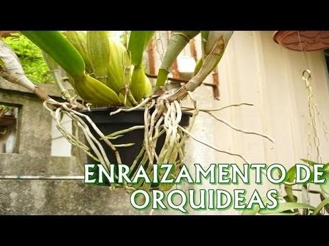 ENRAIZAMENTO DE ORQUÍDEAS COM NPK!