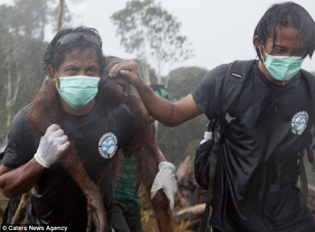 Rescue: Weak from hunger, another orangutan is saved by rescuers in Borneo