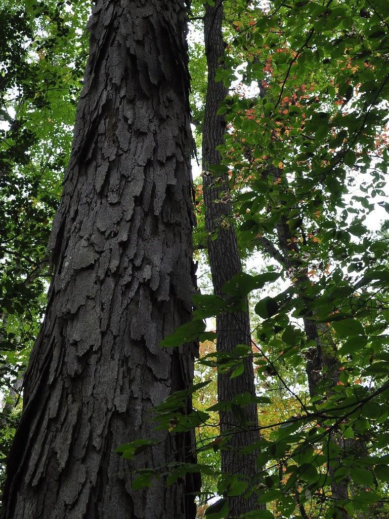 Caledon - Quercus alba 2