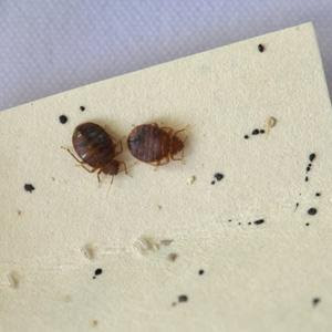 Lampara Repelente What Are Bed Bugs