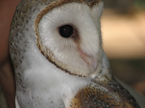 Closeup, Barn Owl, Terrtory Wildlife Park