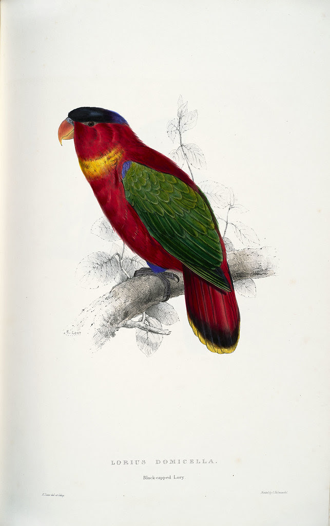 Lorius domicella. Black-capped lory