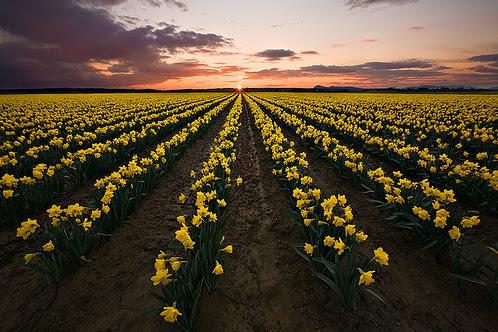 daffodilfield