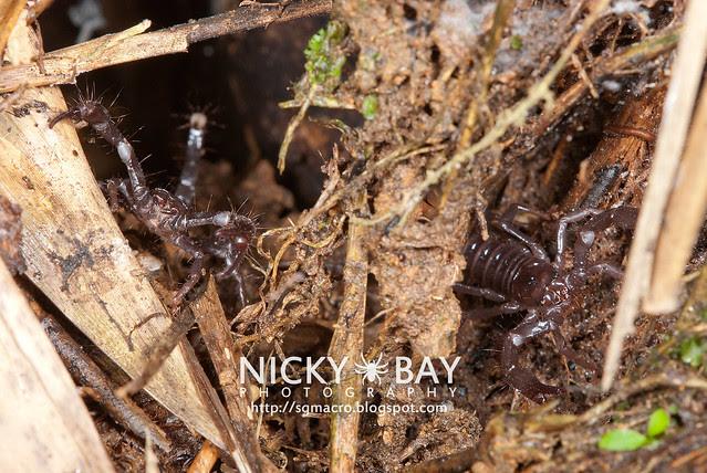 Black Forest Scorpion (Heterometrus sp.?) - DSC_6317