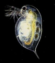 Spiny Water Flea Lake Scientist
