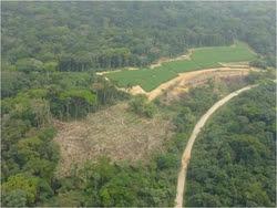 Herakles Farm planea cortar y reemplazar 800 kilómetros cuadrados de bosque lluvioso y tierras agrícolas con monocultivo de árboles para establecer una plantación de palma aceitera en los territorios de los pueblos de Oroko, Bakossi y Alto Bayang en las divisiones de Ndian, Koupé-Manengouba y Manyu en Camerún con grandes impactos sobre aproximadamente 52 mil personas indígenas en 88 aldeas. Fuente: Cultural Survival Foto: Save Wildlife