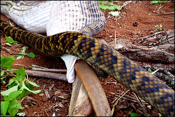 Snake Swallowing Kangaroo 11