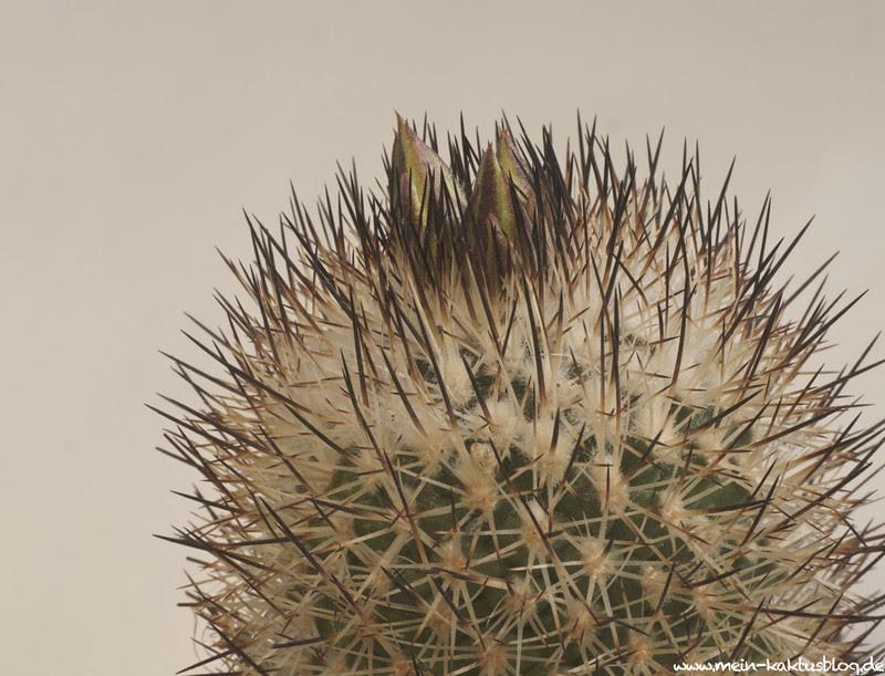 Turbinicarpus beguinii ssp hintoniorum