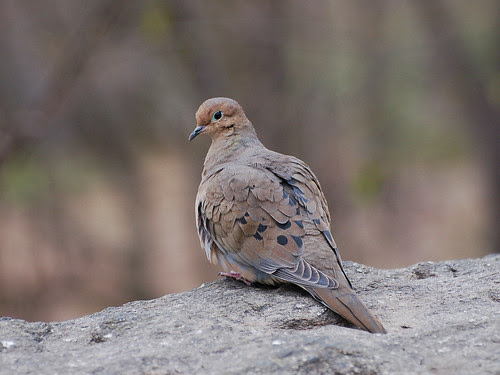Fort Tryon Mourning Dove