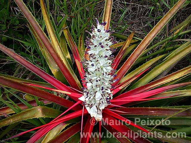 bromélia caraguatá