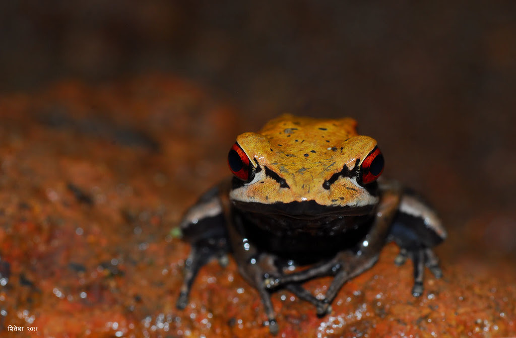 Bi-coloured Frog