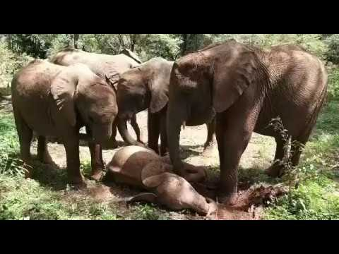 11-Month-Old Elephant Needs a Lot of Sleep