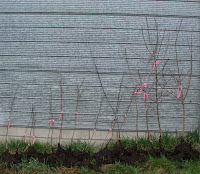 Line-up of fruit trees