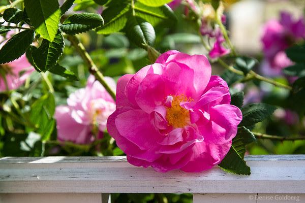 a sunlit rose