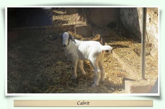Cabrit