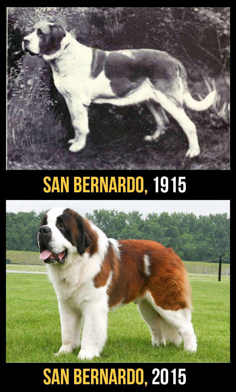 razas perro evolucion 4