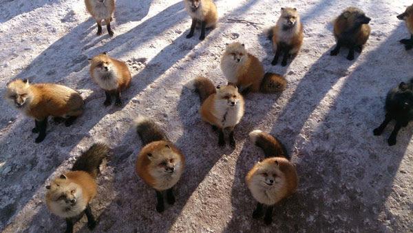 perierga.gr - Το χωριό των… αλεπούδων στην Ιαπωνία!