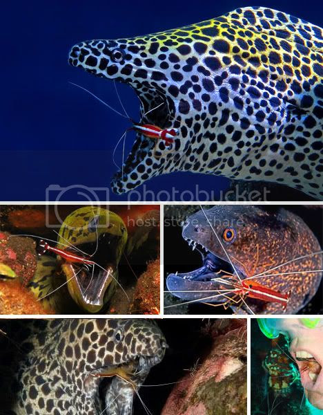 Fish Eel Mouth Cleaning Shrimp