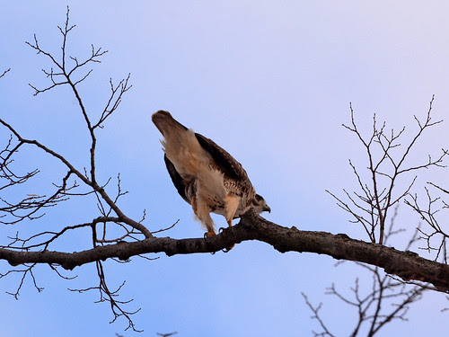 Adult Red-Tailed Hawk (6283)