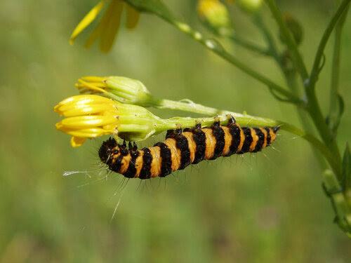 Krestovnikovs الدب كاتربيلر (Tyria jacobaeae)