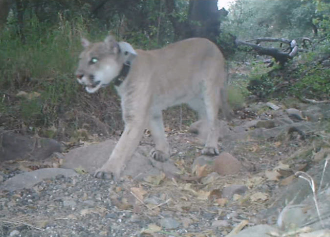 P22 mountain lion recovery