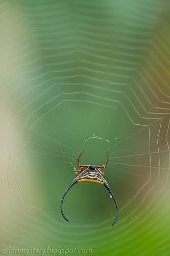 macracantha arcuata, long horned orb weaver spider IMG_9091 copy
