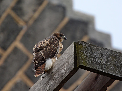 Fledge 2 on the Transept