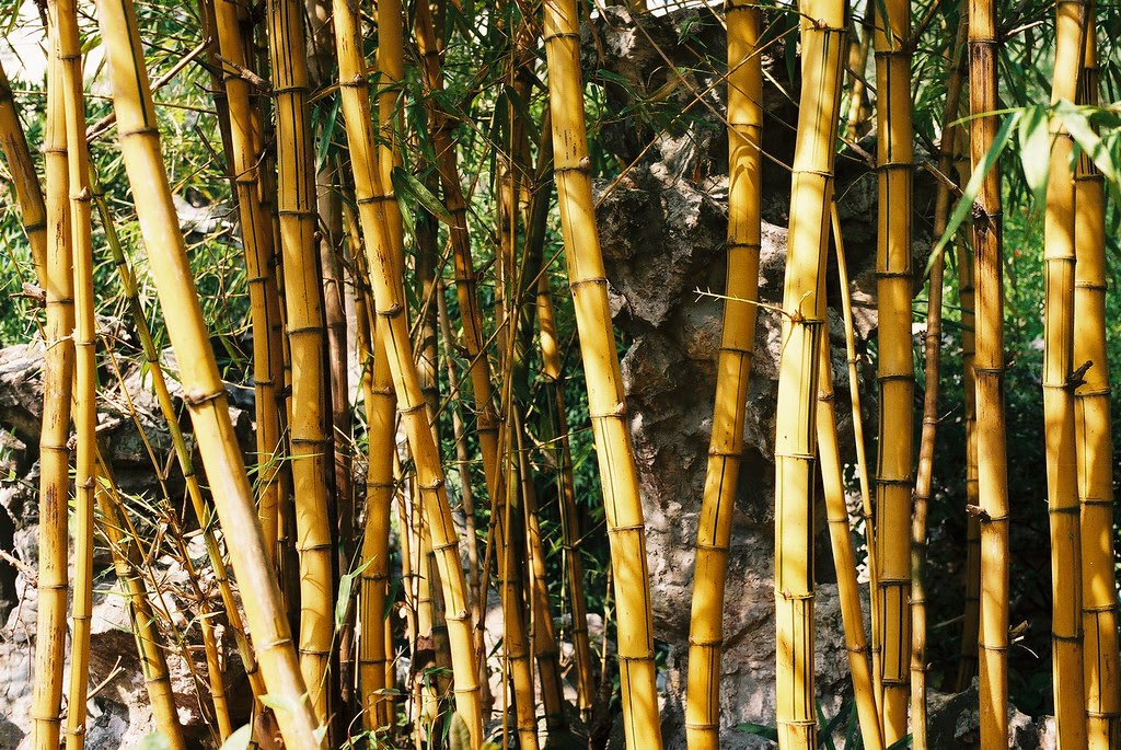 Bamboo in Macau