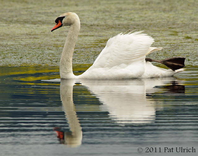 Mute swan at Ellis Creek - Pat Ulrich Wildlife Photography