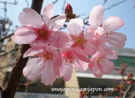 El Sakura Y Las Cerezas 桜とサクランボ Sakura To Sakuranbo En