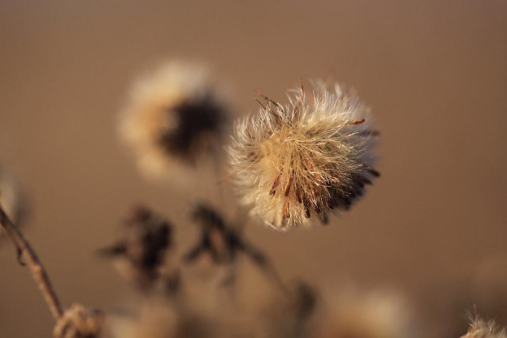 dried bud head