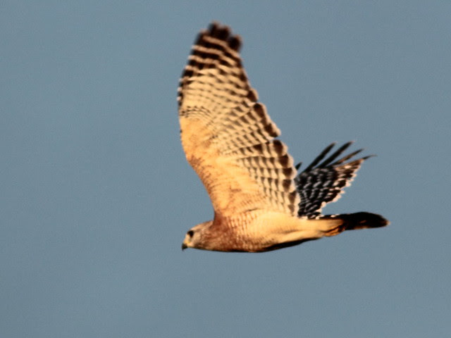 Red-shouldered Hawk 2-20110923