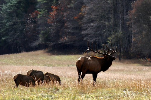 IMG_3202_Elk_in_Cataloochee