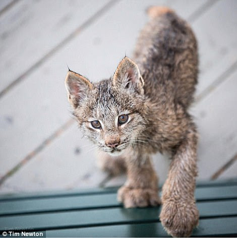 Tim Newton came across the lynx family when he heard scratching at his door