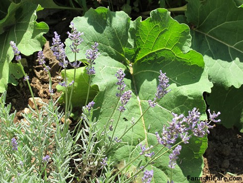 (19-4) Blooming lavender and wild burdock next to the greenhouse in the kitchen garden - FarmgirlFare.com