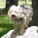 Gizmo - Terrier Torrent