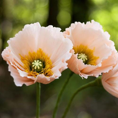 icelandic-poppies-crepe-paper