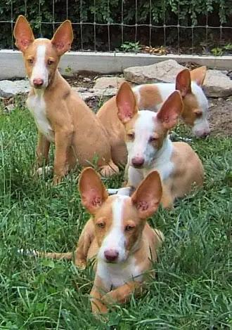 Ibizan Hound Info, Temperament, Training, Diet, Puppies, Pictures