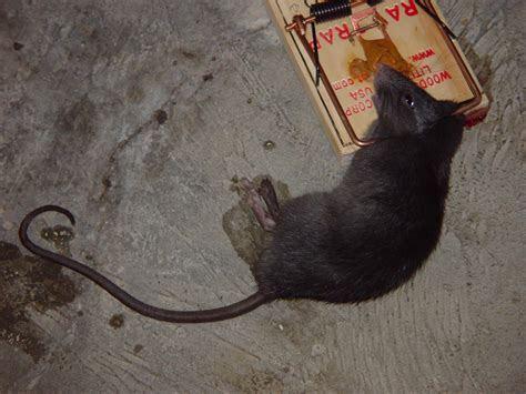 Mo's Victor #7 rat trap