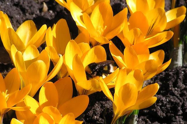 Bombus lucorum