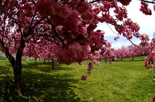 The Cherry Esplanade