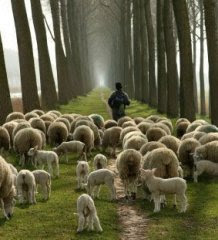sheep-not my picture