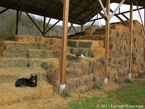 Bert in weekend recovery mode 3 - FarmgirlFare.com