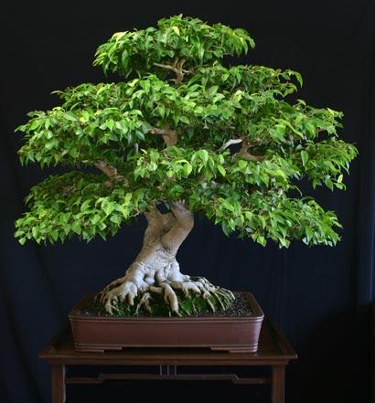 Bonsai Pohon Beringin