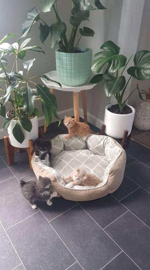 Diminutos gatitos se vuelven virales por su divertida reacción apenas oyen que llega la comida